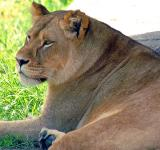Female Lion - (Panthera leo)