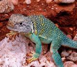Collard Lizard (Crotaphytus collaris)