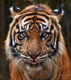 Sumatran Tiger - (Panthera tigris sumatrae)