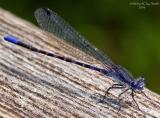 Damsel Fly - (Argia sp)