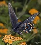 Spicebush Swallowtail - (Papilio troilus)