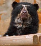 Bespectacled Bear