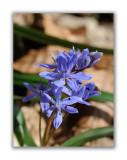 2885 Scilla bifolia