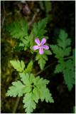1369 Geranium robertianum