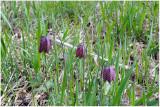 2848 Fritillaria meleagris