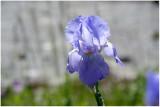 2925 Iris X germanica