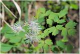 200 Thalictrum aquilegiifolium