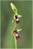 2971 Ophrys insectifera