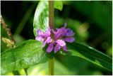 1257 Lythrum salicaria