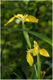 2923 Iris pseudacorus