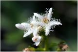1501 Menyanthes trifoliata