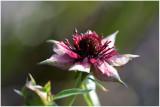 938 Potentilla palustris