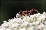 Rhynonocoris (Harpactor) iracundus