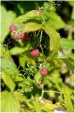 1027 Rubus idaeus
