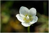 921 Parnassia palustris