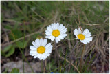 2139 Leucanthemopsis alpina