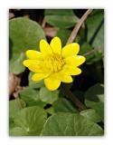 176 Ranunculus ficaria