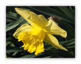 2909 Narcissus pseudonarcissus