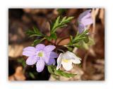 149 Hepatica nobilis. Anemone nemorosa