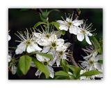 1075 Prunus mahaleb