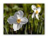 2907 Narcissus poeticus