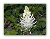 1925 Phyteuma spicatum