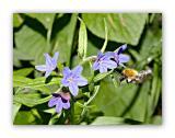 1576 Listhospermum purpurocaeruleum