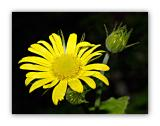 2162 Doronicum pardalianches