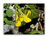 233 Corydalis lutea