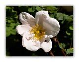 999 Rosa arvensis