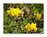 1157 Lotus corniculatus