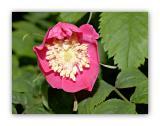 1021 Rosa vosgiaca
