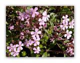 397 Saponaria ocymoides