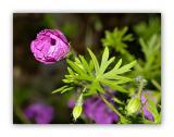 1378 Geranium sanguineum