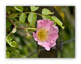 1005 Rosa tomentosa