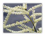 464 Reynoutria japonica