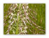 2997 Himantoglossum hircinum