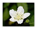 1029 Rubus caesius