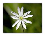 367 Stellaria graminea