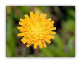 2352 Hieracium aurantiacum