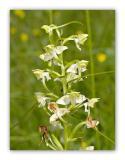 2955 Platanthera bifolia