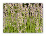 1636 Lavandula angustifolia