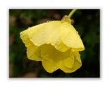 1288 Oenothera biennis