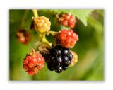 1030 Rubus sulcatus