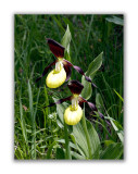2933 Cypripedium calceolus