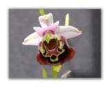2970 Ophrys holoserica eliator
