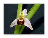 2965 Ophrys apifera