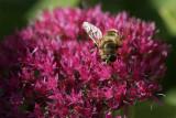Mouche à miel