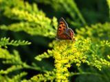 Butterfly on Solidago virga aurea