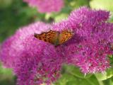 Butterfly on Sedum